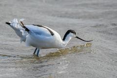 Wave skimmer (Rivertay07 - thanks for over 5 million views) Tags: bird avocet recurvirostraavocetta richardstead copyrightprotected rivertay rspb rspbtitchwellmarsh norfolk