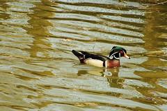 DSCF5165 (Josie Doefer) Tags: detroitzoo animal wild birds avian ducks swan heron goose