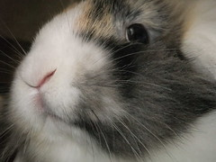 """""""Me is serious!"""" (eveliensbunnypics) Tags: bunny rabbit lop lopeared noa lionhead baby face closeup whiskers nose"""