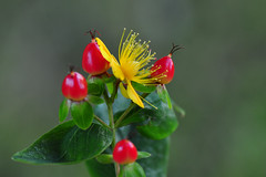 Hypericum Inodorum Magical Red Fame (Millepertuis Androsème) (natureloving) Tags: hypericum inodorum magicalredfame millepertuisandrosème macro flower fruit nature flowersinfrance fleursenfrance flowersineurope natureloving nikon d90 afsvrmicronikkor105mmf28gifed