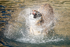 Tiger shake (TAKleven) Tags: fujifilmxe2 fujifilmfujinonxf55200f3548rlmois tiger shake water vann riste splash plaske animal cat katt storkatt bigcat feline wading vader