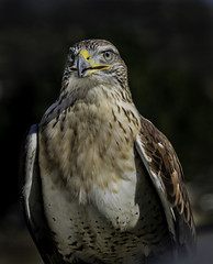 Intimidating Look (Bill Gracey 22 Million Views) Tags: hawkwatch wildliferesearchinstitute ramona ferruginoushawk avianphotography raptor light lightagainstdark grasslands