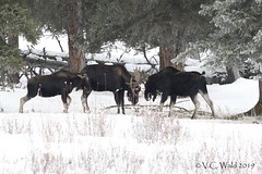 A good story (worth reading) (V.C. Wald) Tags: tamronsp150600f563divcusdg2 yellowstonenationalpark yellowstoneinwinter bullmoose moosecalf alcesacles roundprairie