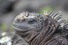Meerechse - Amblyrhynchus cristatus - Marine iguana (Godzilla1975) Tags: echse iguana galapagos san cristobal ecuador meer wasser tier animal ocean nature natur