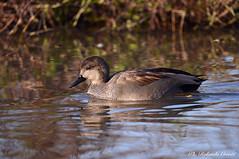 Canapiglia _003 (Rolando CRINITI) Tags: canapiglia uccelli uccello birds ornitologia avifauna racconigi natura