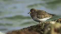 Surfbird (Bob Gunderson) Tags: aphrizavirgata birds california northerncalifornia presidio sanfrancisco sandpipers shorebirds surfbird waveorgan
