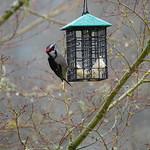 Downy Woodpecker (Picoides pubescens) thumbnail