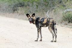 African wild dog (Lycaon pictus) Гиеновидная собака (Mikhail & Yana) Tags: krugernationalpark nature wildlife mammal animal africanwilddog lycaonpictus гиеновиднаясобака