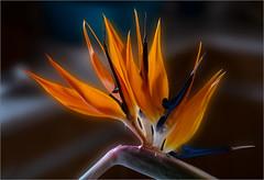 Strelizie / (Strelitziaceae) (ludwigrudolf232) Tags: strelizie blume paradisvogelblume