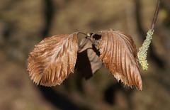 Mehlbeere, griechische / Greek rowan (Sorbus graeca) (HEN-Magonza) Tags: botanischergartenmainz mainzbotanicalgardens rheinlandpfalz rhinelandpalatinate deutschland germany griechischemehlbeere greekrowan sorcbusgraeca