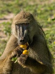 Baboon's Breakfast (1 of 1) (selvagedavid38) Tags: ape baboon chobe safari africa animal food eating fruit botswana