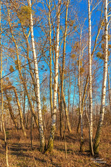 Birkenwäldchen (Uwe Weigel) Tags: wald birke natur nature naturephotography sun sonne himmel sky photographer tree landscape ignature landschaft birken birch nice forest germany europe pic