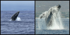 Breach: Calf vs. Adult (River Wanderer) Tags: humpbackwhale breach whalecalf fullbreach hawaii maui lahaina māʻalaea ocean whales collage nikon nikonafsdxnikkor55300mmf4556gedvr