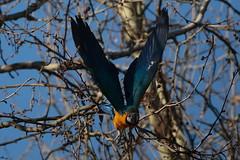 Colors & Mouvment (carlo612001) Tags: ara pappagallo inflight wings parrot nature natura uccelli birds colori movimento colors mouvment