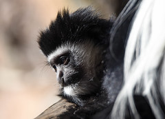 Baby Colobus monkey (maytag97) Tags: maytag97 nikon d750 tamron 150600 150 600 monkey colobus white black guereza mammal nature portrait animal wild family look funny profile zoo ape primate baby young youth oregon