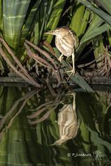 Avetorillo (jimenezcuestapepe) Tags: aves andalucía avetorillo cañadadelospajaros españa fauna limicolas localización sevilla lapuebladelrío provinciadesevilla es