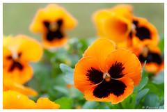 Pensée du jour (Pascale_seg) Tags: printemps spring fleur flower fiore primavera pensée jaune yellow giallo moselle lorraine grandest france nikon jardin garden nature