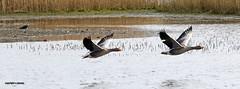 J78A0263 (M0JRA) Tags: swans robins birds humber ponds lakes people trees fields walks farms traylers ducks