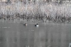 fanniestebbins2019-41 (gtxjimmy) Tags: nikond7500 nikon d7500 tamron 150600mm spring massachusetts newengland birds bird longmeadow fanniestebbinswildlifesanctuary duck ringneckedduck