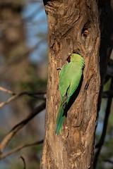 Ring Necked Parakeet (iamfisheye) Tags: 300mm nikon indianringneckedparakeet d500 xqd february sassangir ringneckedparakeet f4 india raremammalsandbirdsofgujarat gujarat naturetrek afs tc14iii 2019 vr pf