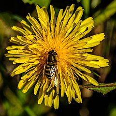 Dandelion Visiting Hoverfly (ianbartlett) Tags: outdoor 365 nature wildlife landscapes monochrome cars pylons waterfalls deer lambs insects flowers trees bridges streams ponds orchids bluebells boathouse