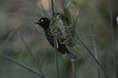 Vieillot's Black Weaver (Ploceus nigerrimus) (supersky77) Tags: vieillots blackweaver ploceusnigerrimus weaver bird entebbe uganda africa