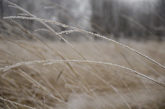 Cold Has Its Perks (aaron_gould) Tags: bokeh grass frost freeze winter morning ohio brown white january 2019 park meadow outside nikkor d7000