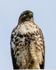(seua_yai) Tags: northamerica california sanfrancisco thecity birdwatching bird seuayai sanfrancisco2019