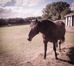 shadow and horse (bidutashjian) Tags: horse animal barn sky clouds fence farm rural tree outside summer nikon bidutashjian