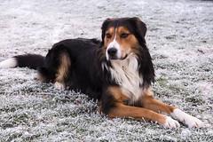 Bruno liebt den Frost (petra.foto busy busy busy) Tags: hund rüde bruno bernersennenhund winter garten wachhund natur haustier portrait frost fotopetra canon 5dmarkiii
