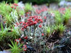 matchstick-lichen (jmunt) Tags: lichen matchsticklichen britishsoldiers microlandscape moss cladoniacristatella