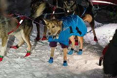 _ROS3408-Edit.jpg (Roshine Photography) Tags: dogs yukonquest dawson winter dogyard 36hourrestart huskies environmental yukonterritory snow dawsoncity yukon canada ca