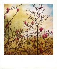 Pink magnolia. (jeanne.marie.) Tags: rainy rain polaroid textured springtime spring iphoneography mydailywalkintherain iphone7plus blossoms magnolia pink