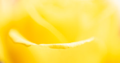Yellow rose (stoneleighboy) Tags: flowers nature colour soft macro delicate petals