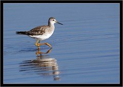 LESSER YELLOWLEGS (PHOTOGRAPHY STARTS WITH P.H.) Tags: lesser yellowlegs rare visitor lodmore weymouth dorset nikon d500 gitzo mk5 500mm afs vr