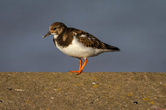 Turnstone (Rons Images) Tags: ringedplover ornithology seabird sheringham bird coastalbird rontoothill canoneos7d canon ef100400mm f4556l is ii usm canonef100400mmf4556lisiiusm