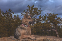 Liesl (Cruzin Canines Photography) Tags: animal animals canon canoneos5ds canon5ds canine 5ds eos5ds dog dogs domesticanimal mammal pet pets gsd germanshepherd shepherd liesl outdoors nature naturallight naturepreserve portrait pretty girl female palmerpark colorado coloradosprings