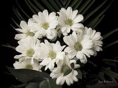 _61A0281 (fotolasse) Tags: blommorstudiontulpaner blommor flowers blad tulpaner sweden sigma 50mm canon studio light visico ttl5