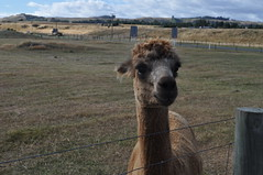 ALPACAS - Alpaga Nouvelle Zelande 2019 (1) (hube.marc) Tags: alpacas alpaga nouvelle zelande 2019 vicugna pacos