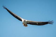 White Bellied Sea Eagle (Haliaeetus leucogaster)_DSC_4582 (smithtecart) Tags: haliaeetusleucogaster kochang whitebelliedseaeagle bird eagle public raptor thailand