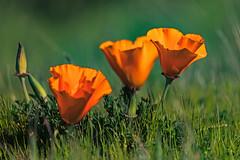 California poppies. Sweeney Ridge, Pacifica, CA. (j1985w) Tags: california pacifica sweeneyridge poppies grass flowers greatphotographers