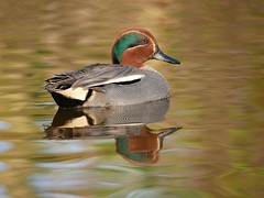 Teal (PhotoLoonie) Tags: duck teal waterbird wildlife nature bird