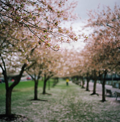 the time is now, part one (manyfires) Tags: film analog sakura cherrytrees cherrytree pink trees downtown pdx portland pnw pacificnorthwest spring blossom bloom waterfrontpark bokeh hasselblad hasselblad500cm mediumformat square branches