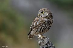 Mochuelo europeo (Sento74) Tags: mochueloeuropeo athenenoctua aves birds rapaz nikond500 tamron150600g2 ngc