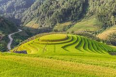 _Y2U2684.0918.La Pán Tẩn.Mù Cang Chải.Yên Bái (hoanglongphoto) Tags: asia asian vietnam northvietnam northwestvietnam landscape scenery vietnamlandscape vietnamscenery mucangchailandscape terraces terracedfields sunlight hill curve abstract house home people hillside sunnyweather canon tâybắc yênbái mùcangchải lapántẩn mâmxôilapántẩn phongcảnh ruộngbậcthang lúachín mùagặt morning sunnymorning nắng buổisáng nắngsớm ngọnđồi sườnđồi đườngcong trừutượng ngôinhà người phongcảnhcóngười seasonharvest mùcangchảimùalúachín mùcangchảimùagặt northernvietnam landscapeandpeople canoneos1dx canonef2470mmf28liiusm