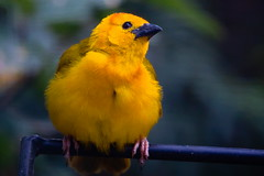 Enjoying the day. Taveta Golden Weaver. (jamestapatio) Tags: