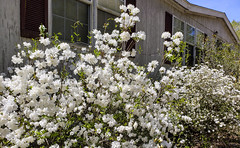 White azaleas in South Carolina (mimsjodi) Tags: flowers azaleas southcarolina