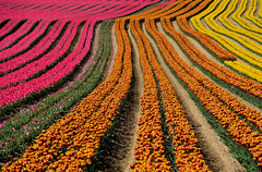 Champs de tulipes Alpes de Haute Provence (ichauvel) Tags: tulipes tulips champsdetulipes fieldoftulips fleurs flowers lignes lines perspective graphisme multicolore couleursvives bulbes printemps spring exterieur outside lurs forcalquier alpesdehauteprovence provencealpescôtedazur france europe westerneurope culture beautédelanature beautyofnature
