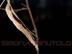 In punta dei piedi (Scheggya2) Tags: gold macro nature cof055uki cof055dmnq