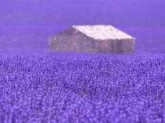 P1810094 (alainazer2) Tags: valensole provence france lavande lavanda lavender fleurs fiori flowers champs fields